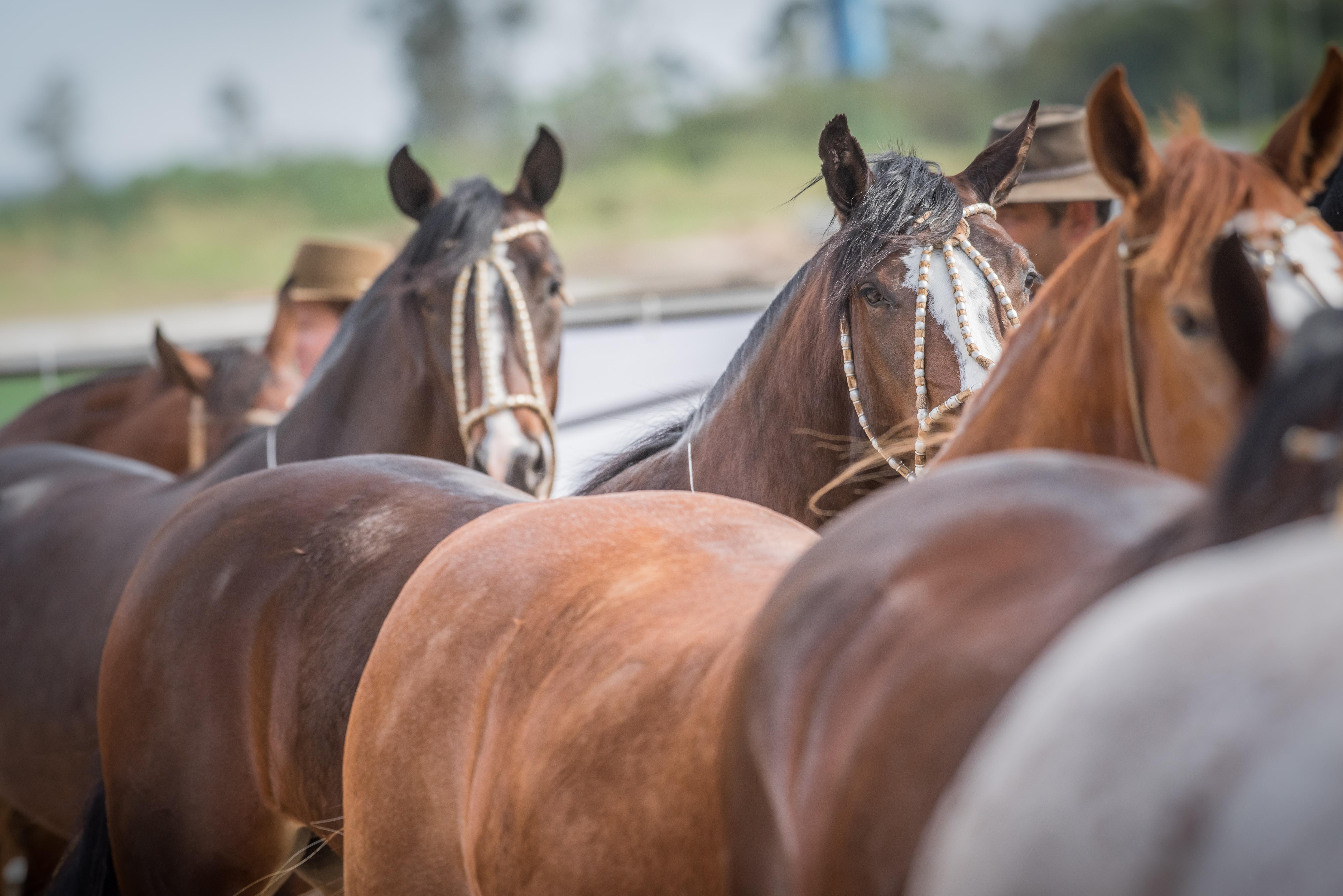 Leilão de Cavalos Crioulos destinará renda aos recém-nascidos da Santa Casa de Porto Alegre
